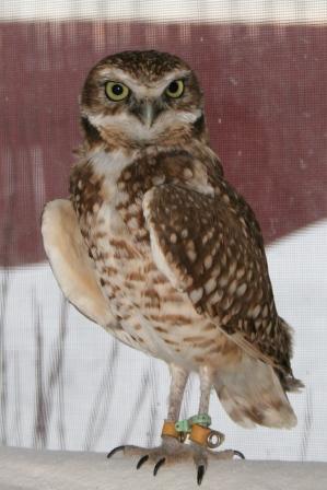 Ambassador Owl IMG_6746sm