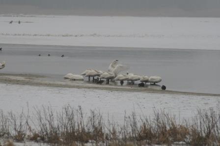 bombay hook swans IMG_7541