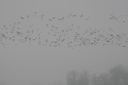 migrating geese at bombay hook IMG_7562