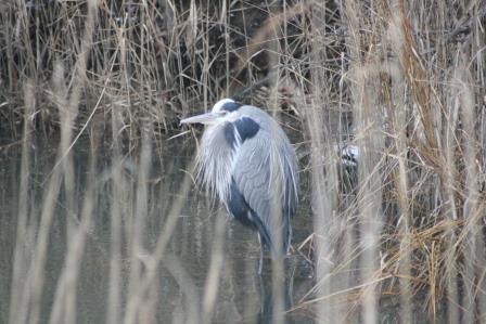 bombay hook great blue heron IMG_7593