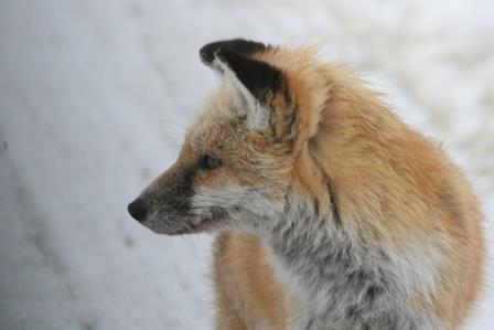bombay hook fox IMG_7624