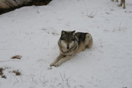 wolf park IMG_7881