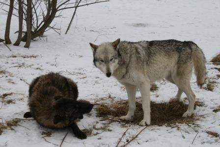 wolf park IMG_7900