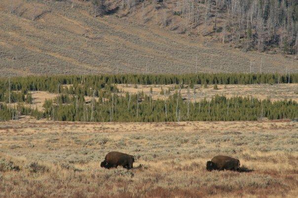 Yellowstone National Park  yellow6